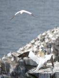 gannets Royaltyfri Fotografi