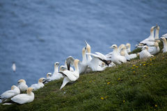 gannets Lizenzfreie Stockfotografie