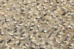 gannets Стоковое Изображение