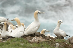 Gannets stock images