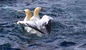 gannets Photo stock