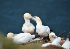 gannets Стоковые Изображения