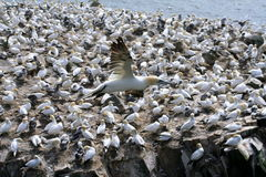 Gannets Stock Photos