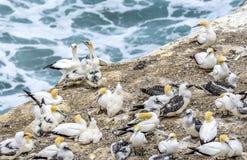 Gannets Australasian Imágenes de archivo libres de regalías