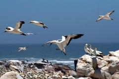 Gannets B2 del cabo Fotos de archivo