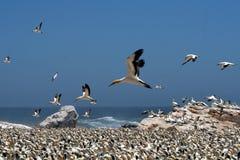 Gannets B5 do cabo imagem de stock