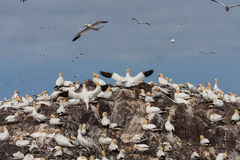 Gannets on Bass Rock Stock Image
