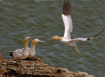 Gannets at Bempton Cliffs. Three adult Northern Gannets at Bempton Cliffs Yorkshire England Stock Image