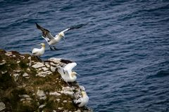 Gannets at Bempton cliffs, Flamborough. Royalty Free Stock Images