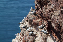 Gannets breed on Helgoland Stock Image