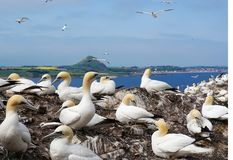 Gannets breeding on Bassrock. Scotland, with in the background North Berwick royalty free stock photography