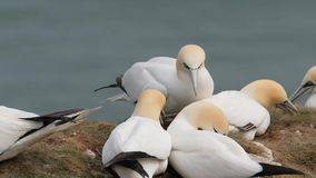 Gannets in breeding colony on east coast chalk cliffs. stock video