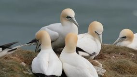 Gannets in breeding colony on east coast chalk cliffs. stock footage