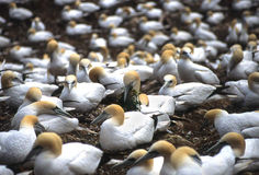 Gannets building nest. Gannet couple building nest on bird island Quebec,Canada Stock Photos