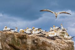 Gannets, Cape Kidnappers, New Zealand. Black Reef Gannet Colony, Cape Kidnappers, Hawkes Bay, New Zealand stock image