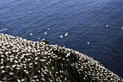 Gannets at Cape St. Mary's Bird Sanctua Royalty Free Stock Image