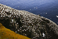 Gannets at Cape St. Mary's Bird Sanctua Stock Image