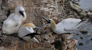 Gannets on the Cliff Face Stock Image