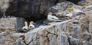 Gannets on cliffs Royalty Free Stock Photography