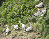 Gannets collecting nesting materials Stock Image