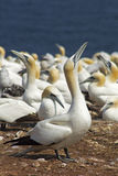 Gannets colony Royalty Free Stock Images