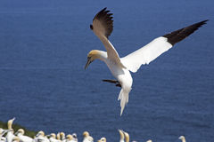 Gannets colony Stock Images
