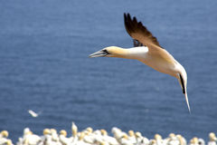 Gannets colony Royalty Free Stock Photography