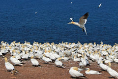 Colony of northern gannets Stock Image