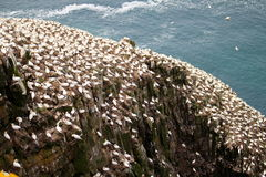 Gannets colony Royalty Free Stock Photo