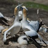 Gannets Courting with chick, Muriwai, New Zealand -3. Two gannets with a young chick courting at the breeding colony of gannets who return annually to mate stock image