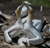 Gannets Courting with chick, Muriwai, New Zealand -4. Two gannets with a young chick courting at the breeding colony of gannets who return annually to mate royalty free stock photo
