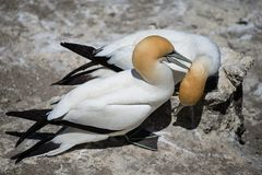 Gannets Courting, Muriwai, New Zealand -8 Royalty Free Stock Photography