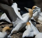 Gannets Courting, Muriwai, New Zealand -1. Two gannets courting at the breeding colony of gannets who return annually to mate, breed and raise their young stock photography