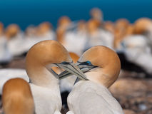 Gannets de socialización Foto de archivo