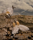 Gannets in Dispute. Northern Gannets disputing territory at their summer location on Bempton Cliffs Yorkshire England Stock Photo