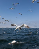Gannets diving Royalty Free Stock Image