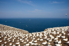 Gannets do norte imagem de stock royalty free