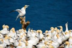 Gannets do norte foto de stock royalty free