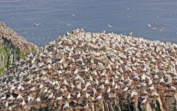 Pássaros de mar em uma ilha do assentamento Fotografia de Stock Royalty Free