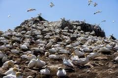 Gannets Stock Photos