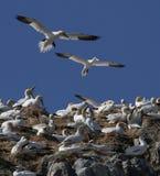Gannets en jerarquías del plástico imagen de archivo