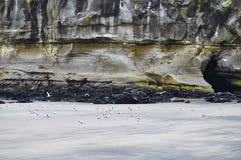 Gannets en la playa de Muriwai con el acantilado en fondo Imágenes de archivo libres de regalías