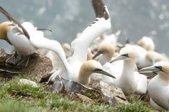 Gannets en un acantilado Fotografía de archivo libre de regalías