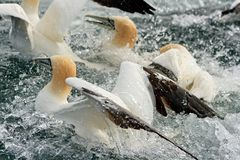 Gannets Feeding Royalty Free Stock Photography