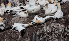 Gannets fighting Stock Photos