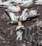 Gannets fighting Stock Photography