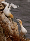 Gannets find a Mate Stock Image