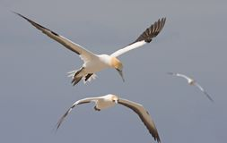 Gannets in flight. Three gannets in flight, sharp focus on leading bird Stock Photography