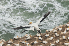 Gannets in flight Stock Photography