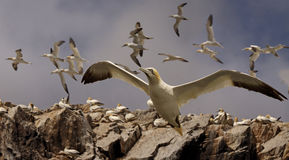 Gannets in Flight Royalty Free Stock Image